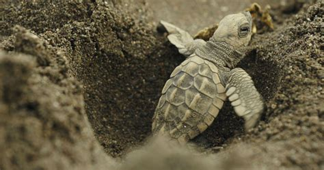 Rising Temperatures Are Causing More Sea Turtles To Be