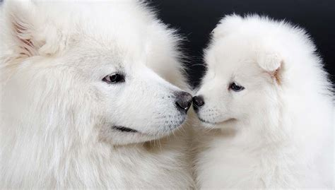 Big White Dog Breeds And Why They Are Great
