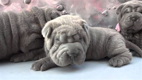 blue sharpei puppies females 4 weeks for sale - YouTube