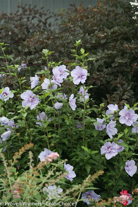 Images for Blue Chiffon® - Rose of Sharon - Hibiscus