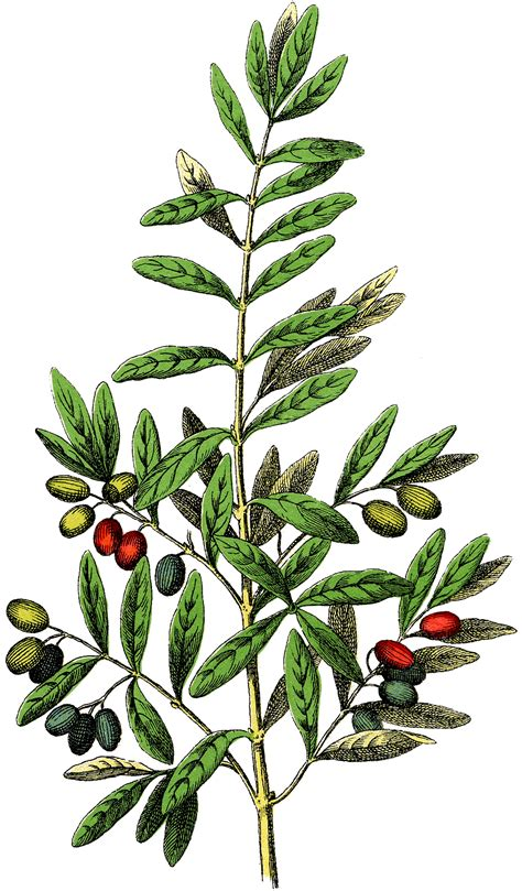 Free Botanical Olives Clip Art - Gorgeous! - The Graphics