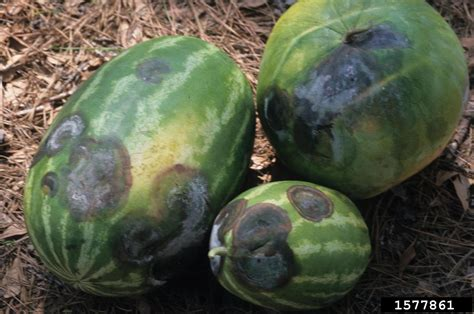 Phytophthora blight (Phytophthora capsici ) on watermelon