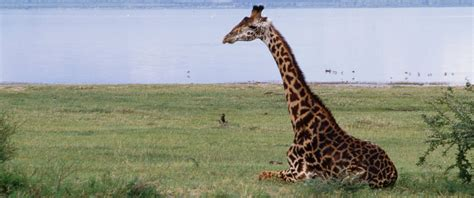Giraffes in Danger of Extinction: Why Their Numbers Have