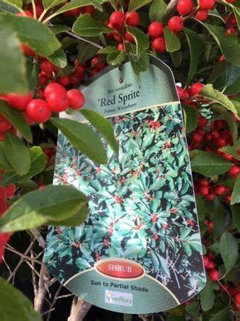 Winter Berry bushes for our Summer AND Winter Gardens
