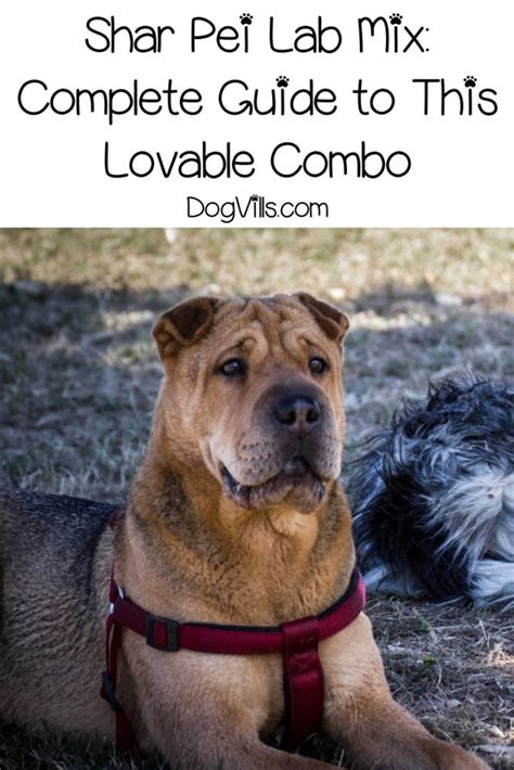 Shar Pei Lab Mix: Complete Guide to This Lovable Combo