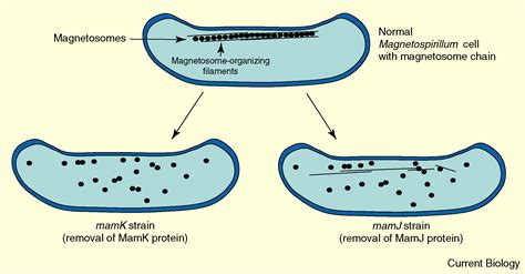 Bacterial Cell Biology: Managing Magnetosomes: Current Biology