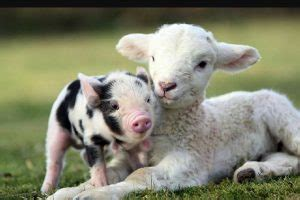 Farm Animals List, Facts, and Pictures